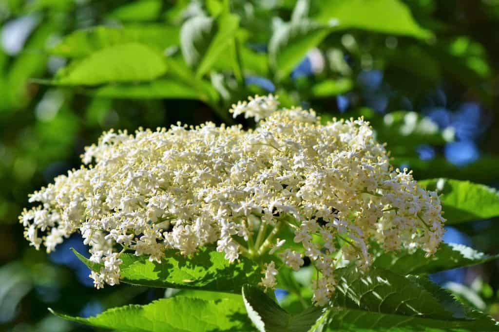 Holunderblüte (kleine Kräuterkunde)